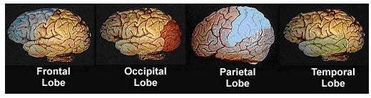 4 diagrams of brain highlighting from left to right: frontal lobe, occipital lobe, parietal lobe, temporal lobe