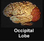Picture of brain highlighting the occipital lobe